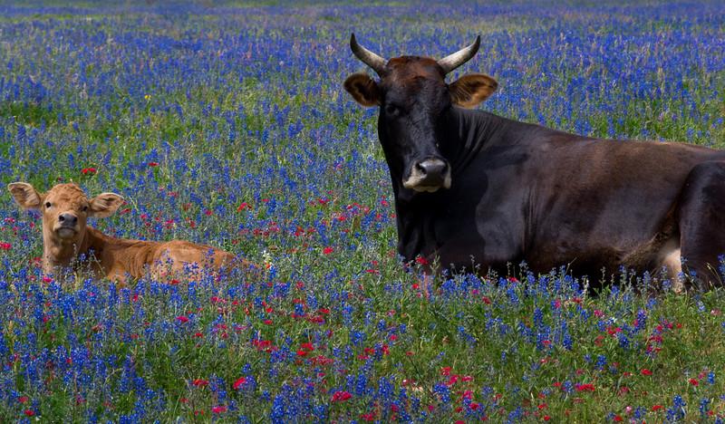 zZBluebonnet run 4-11-2014 074 SMALL, cow and calf.jpg