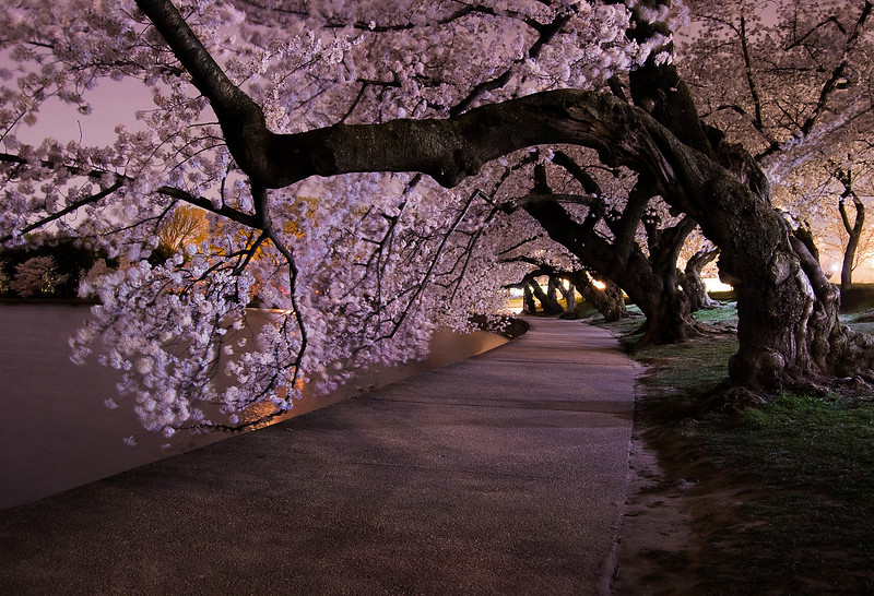 Cherry Blossoms at night-1.jpg