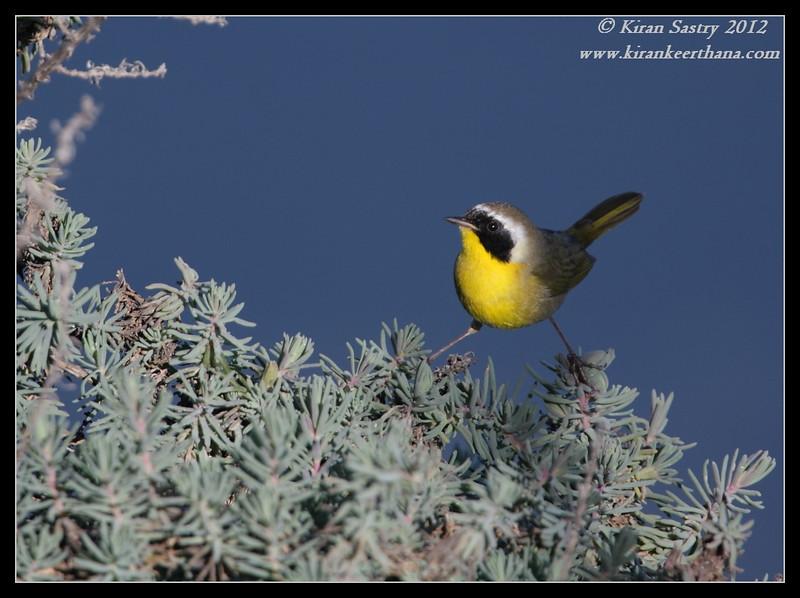 Common Yellowthroat, Robb Field, San Diego River, San Diego County, California, February 2012