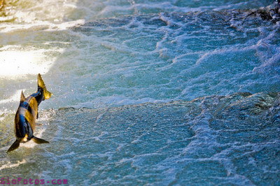 NIMBUS FISH LADDER RELEASE NOV 1 2011 - Dept. Fishing game