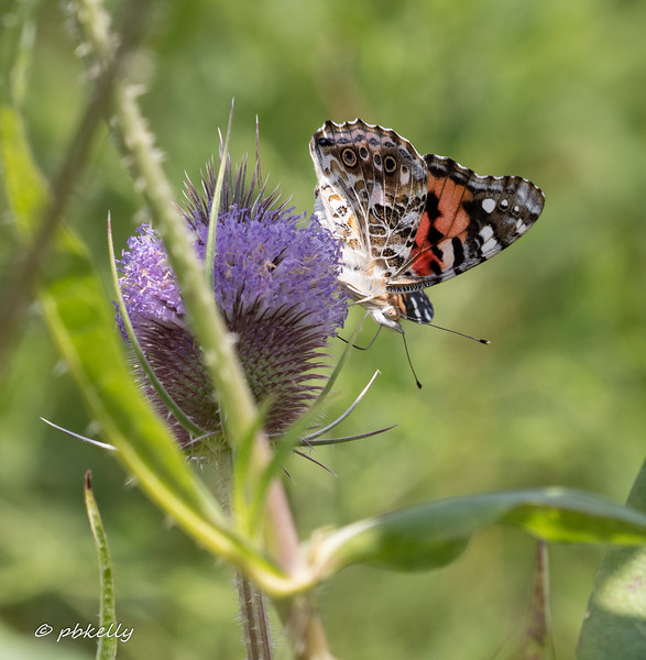 Painted Lady 080319-1.jpg