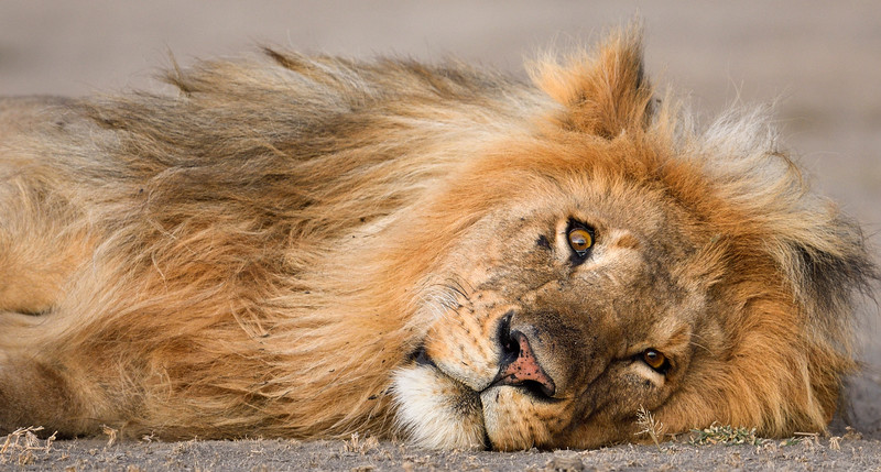 Lion-Ndutu-curious-snooze-1.jpg