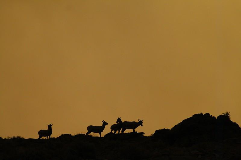 Bighorn Sheep foursome Yellowstone _MG_3143.jpg