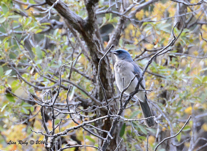 Mexican Jay - 4/19/2014 - Ramsey Canyon, Sierra Vista, Arizona