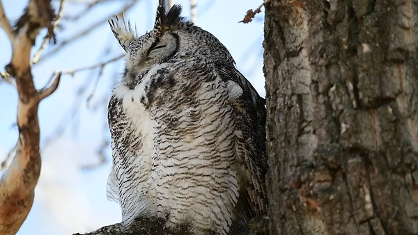 4-18-18 Video - Great Horned Owl - Adult Male