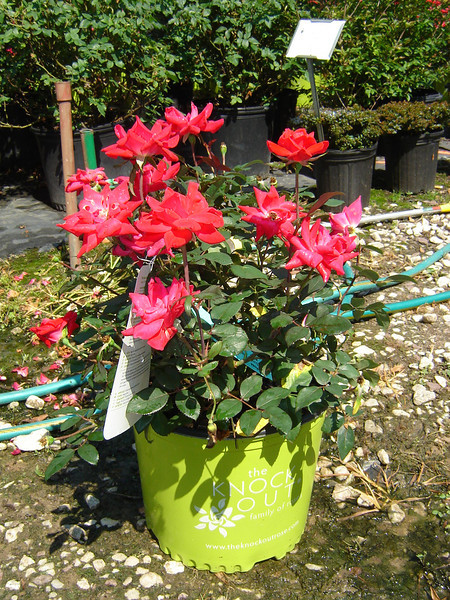 Rosa 'Double Knockout'  Double flower, red rose.