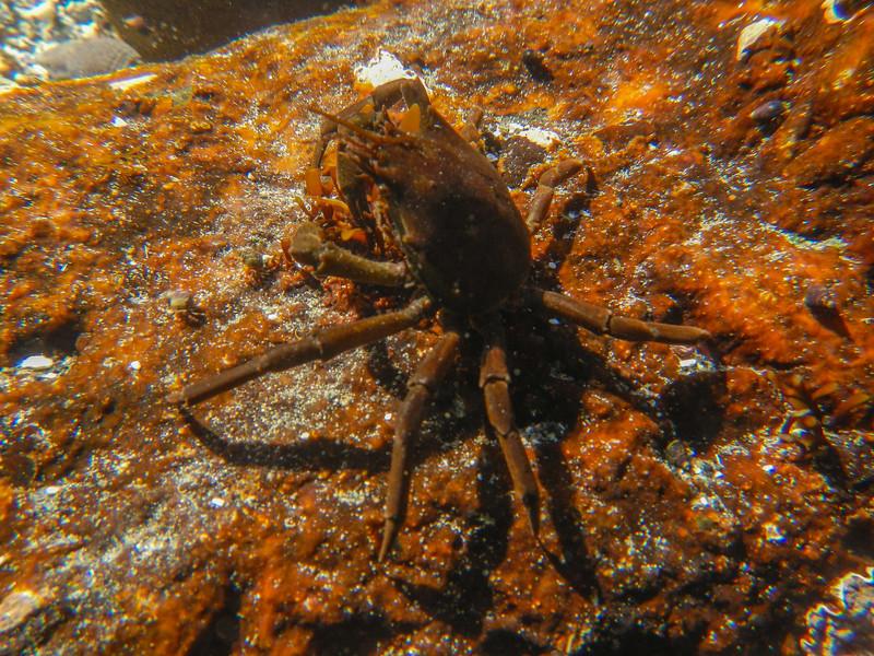 Kelp Crab (Pugettia producta)