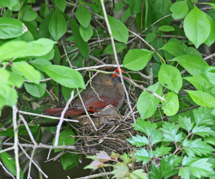 Northern Cardinal on Nest - Lake Fausse Point SP - St. Martinsville, LA