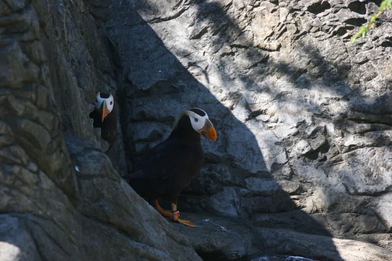Nesting puffin family at Aquarium