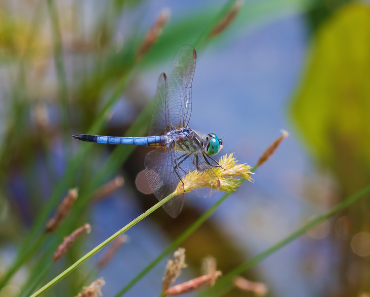 Dragonfly in Full Color