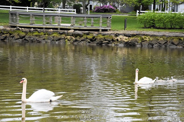 Swans at the Marina in Oceanport (and Pat Guadagno!)