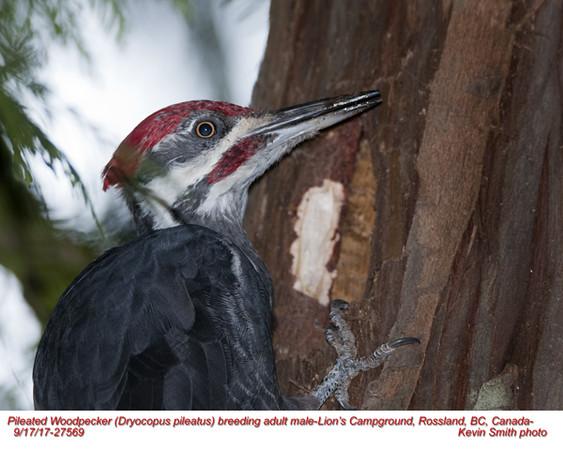 Pileated Woodpecker M27569.jpg