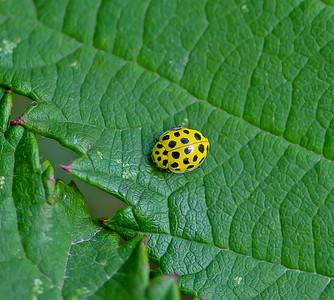 Psyllobora Vigintiduopunctata (22 Spot Ladybird)