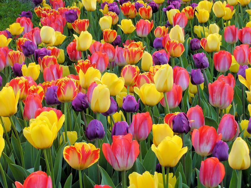 Tulip6_4-23-08a.jpg