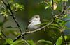 blackpoll warbler, spring female, LI, NY