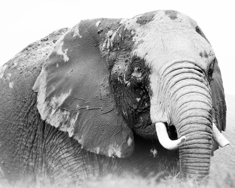 Elephant, Amboselli.