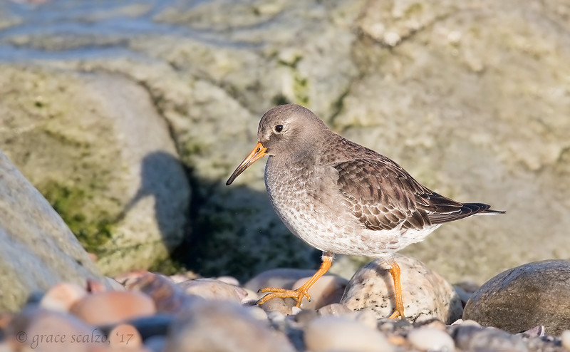 Purple Sandpiper and his shadow