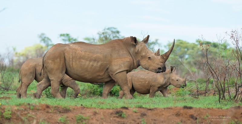 White Rhino, Pilansberg National Park, SA, Dec 2013-1 copy.jpg