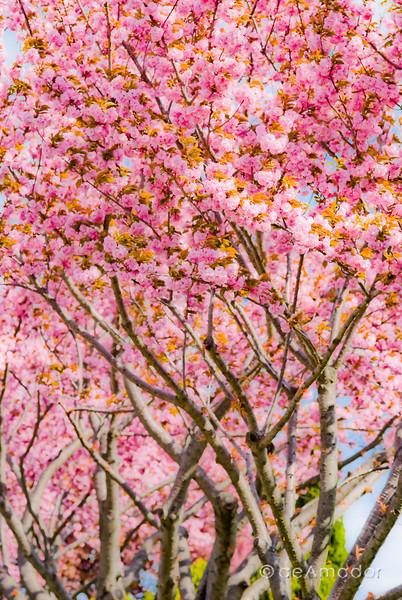 """""""Kwanzan Cherry Tree"""" _DSC0088aeamador©-MDSC"""