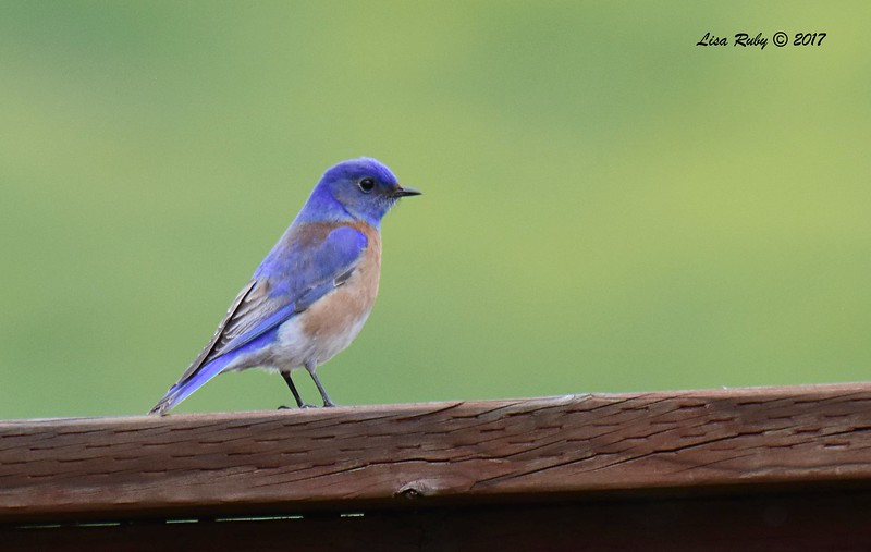 Western Bluebird - 2/26/2017 - Sycamore Canyon Road