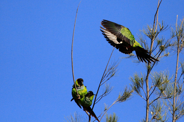 King Gillette Featuring Black-Hooded Parakeets May 3, 2014
