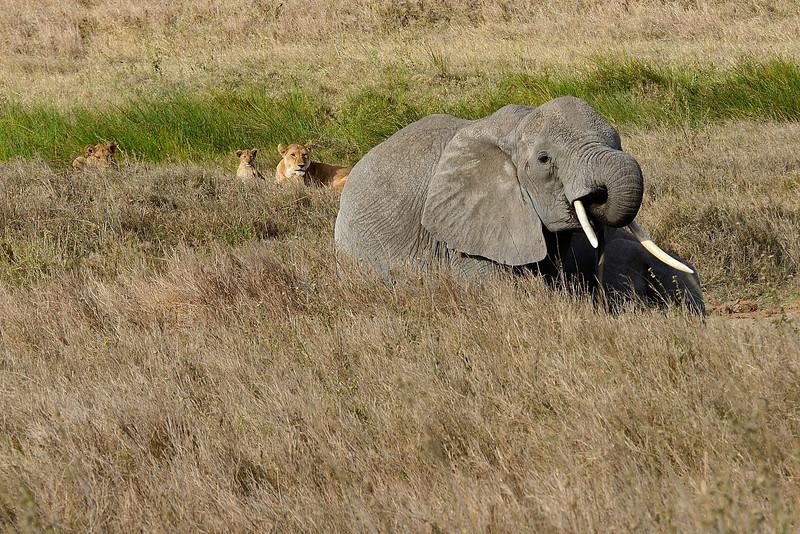 Lion-and-elephants-02.jpg