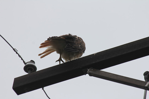 Rainy Day Red Tailed Hawk