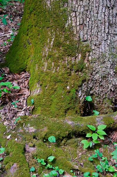 Moss on base of tree trunk in forest.jpg