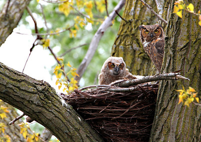True Owls (Strigidae)