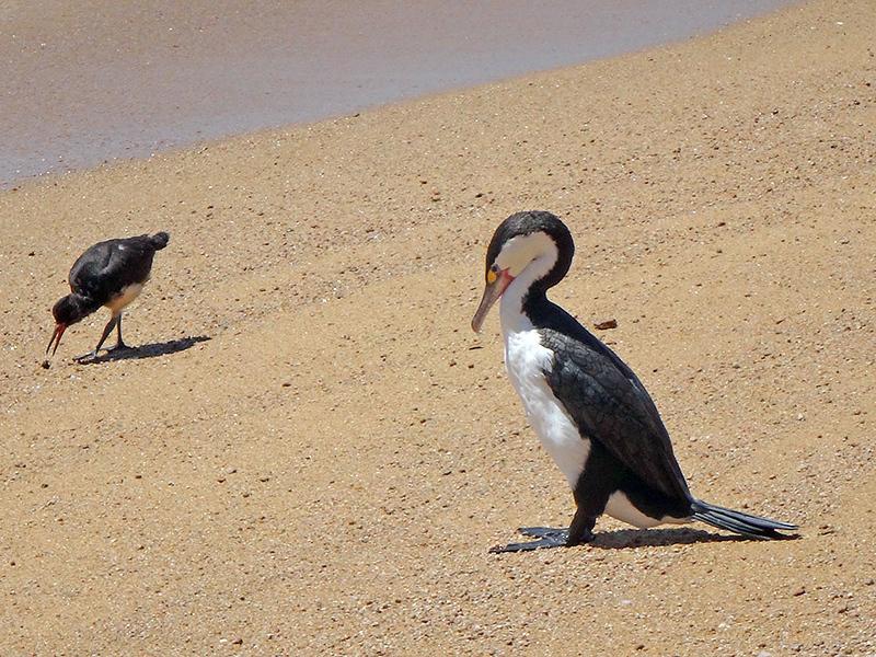 Oystercatcher and gannet