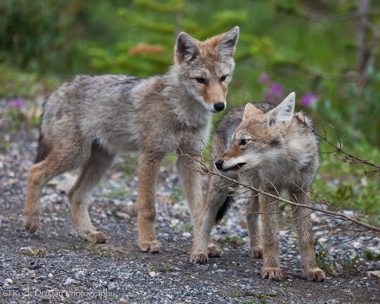 Coyote pups in Peter Lougheed Provincial Park.
