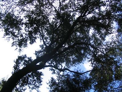 Muir Woods (P&S camera)