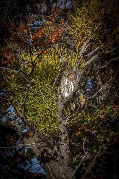 Pygmy Owl-1.jpg