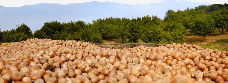 Categoria: Frutteti   Orchards