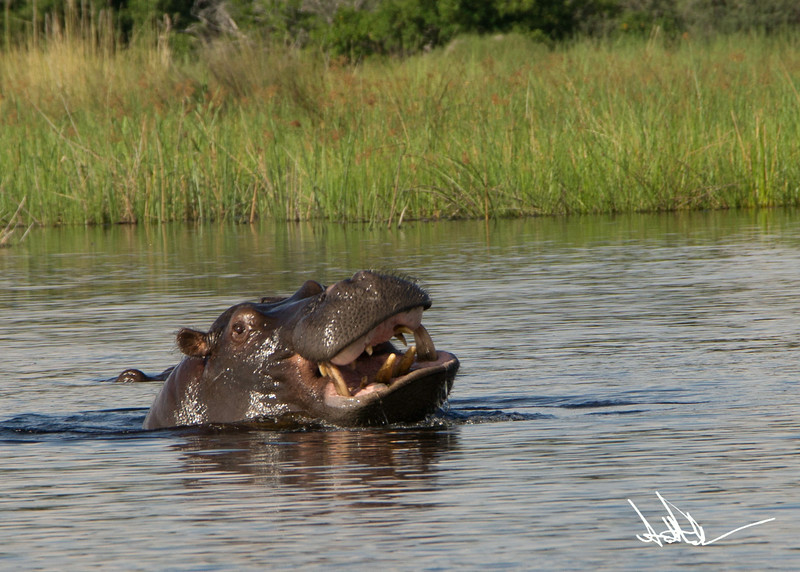 Hippos S-8.jpg