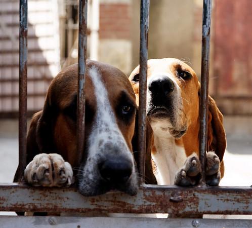 Chateau de Cheverny - Les chiens