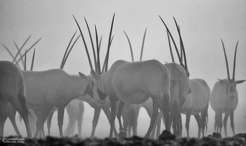 Arabian Oryx (38)- B&W.jpg