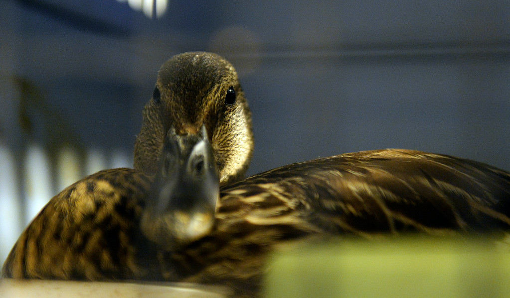. DENVER, CO - JULY 30:  Wild B.I.R.D. Rehabilitation Center  will be closing it\'s doors, at the 1880 S. Quebec Way location, on September 1, 2014. They have cared for thousands of  sick, injured or abandoned birds.   A mallard recovering from an injured foot at the center on  Wednesday, July 30, 2014.  They are closing because it is not properly zoned for the organization�s needs. They are fund raising to open at a new location in Wheat Ridge. (Denver Post Photo by Cyrus McCrimmon)
