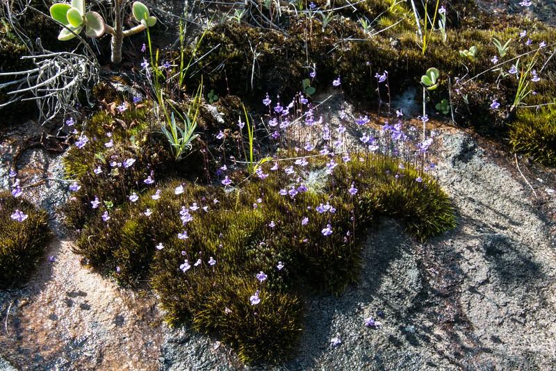 Utricularia livida MDG_7126.jpg