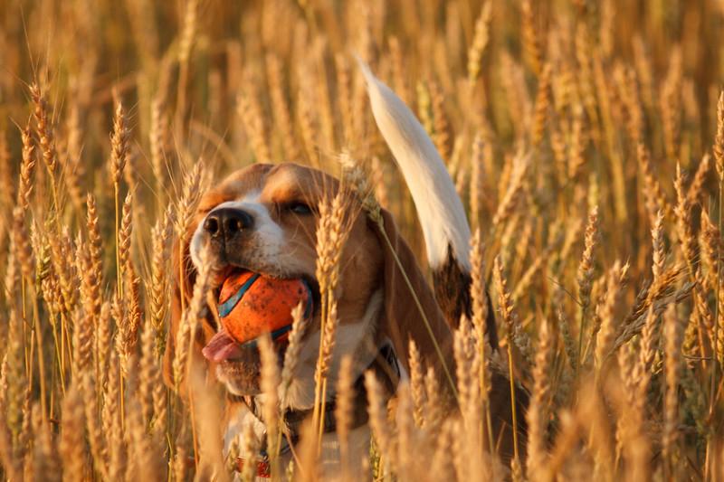 Finder Beagle