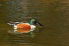 Northern Shoveler (Anas clypeata) in Hampton, VA. © 2007 Kenneth R. Sheide