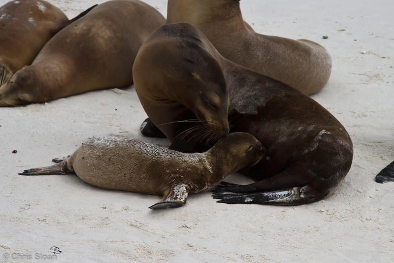 Galapagos Sea Lions at Gardner Bay, Espanola, Galapagos, Ecuador (11-21-2011) - 610.jpg