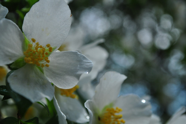 English Dogwoods in Spring