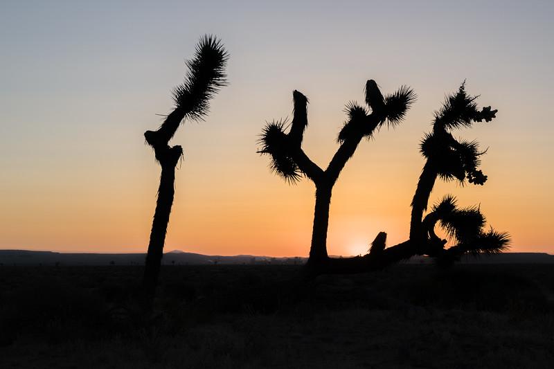Old Joshua Tree At Sunrise