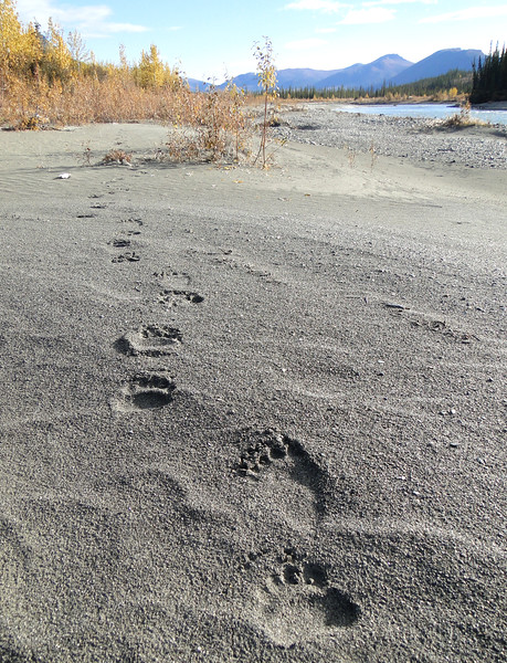 Brown Bear Tracks.jpg