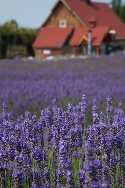 Purple Haze lavender gardens in Sequim, WA