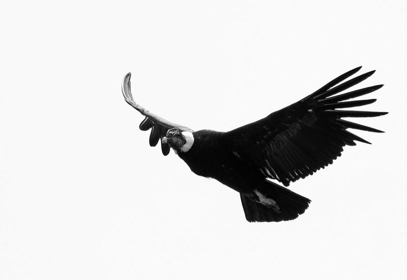 Andean Condor 5 ByN.jpg