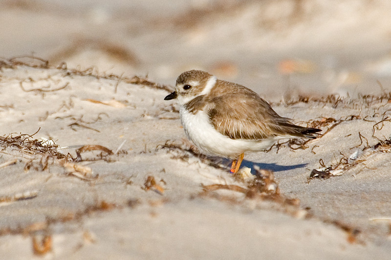 Plover - Piping - St. George Island State Park, FL - 01