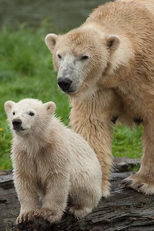Scandinavian Bears