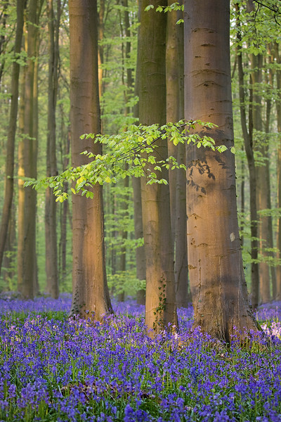 large bluebells 9.jpg